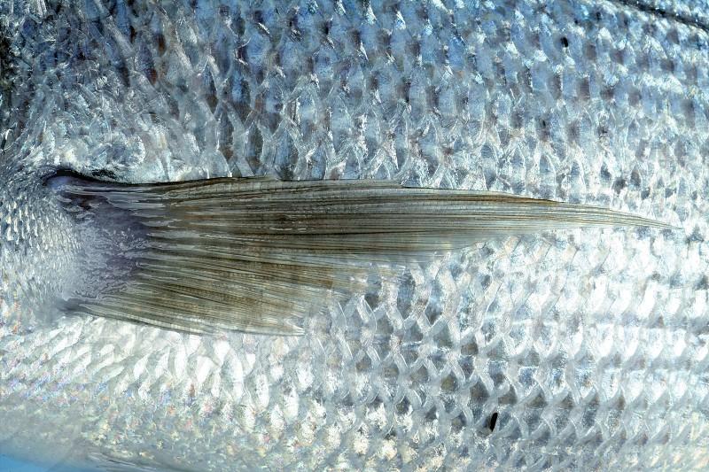 Denton Mediterranean sparus fish family of gilthead and snapper photo