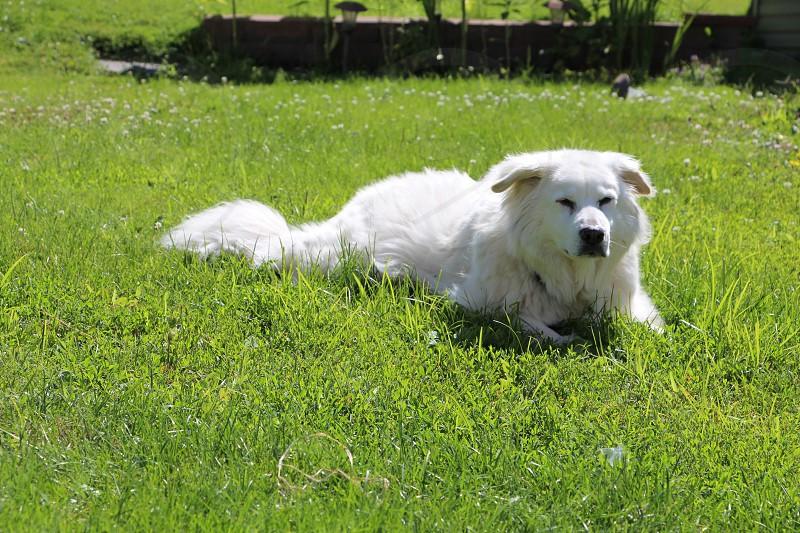 Isabella bravery fighting cancer white fluffy dog green grass guarding the yard sunshine photo