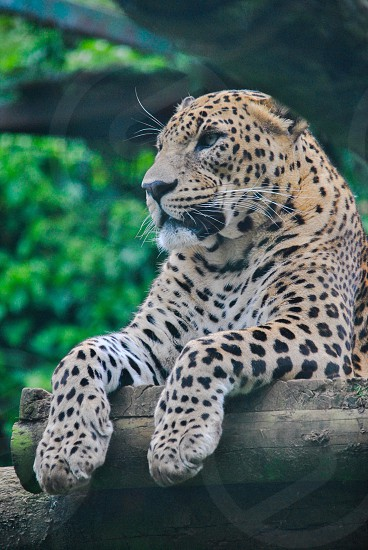 leopard animal lying on grey logs photo