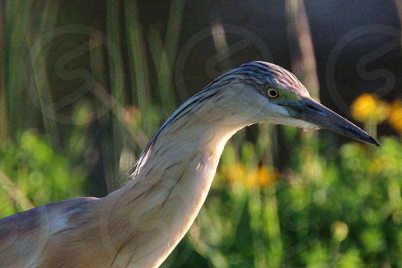 spring colors squacco heron photo