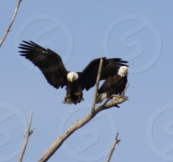 Wild Eagles that I have been watching for 3 years :)  photo