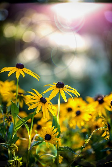 brown eyed susan flowers photo