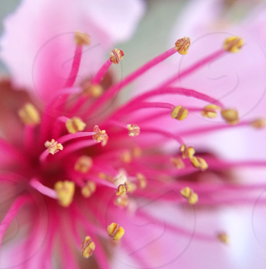 Macro of a pink almond tree flower.  photo
