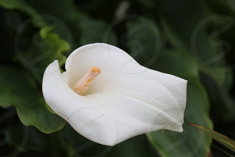 Calla Lillie flower in fresh bloom photo