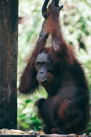 Orangutan Smiling photo