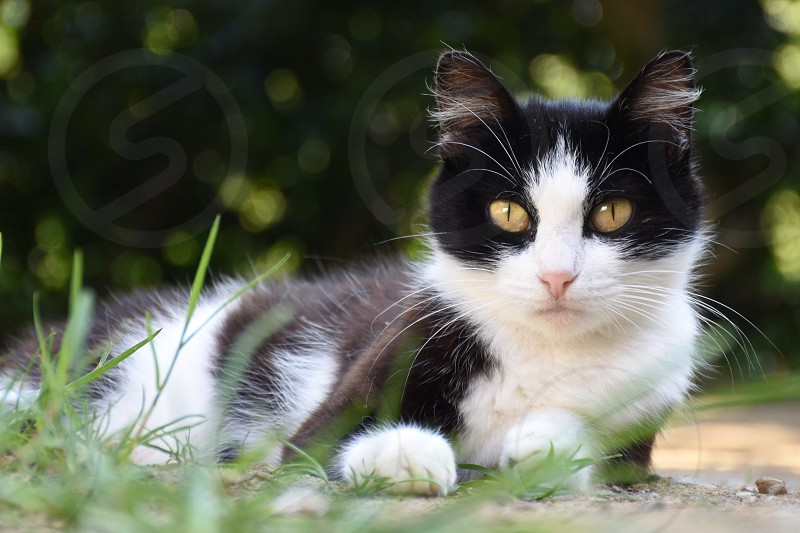 white and black cat resting on ground with green grass with long narrow sharp grass photo