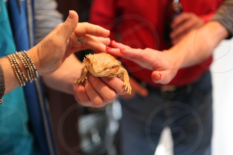 Hands petting a reptile photo
