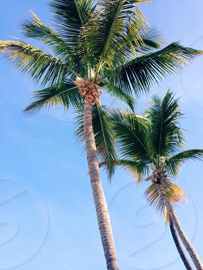 palm trees against blue sky photo