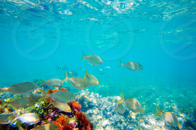 Mediterranean underwater with salema fish school in spain photo