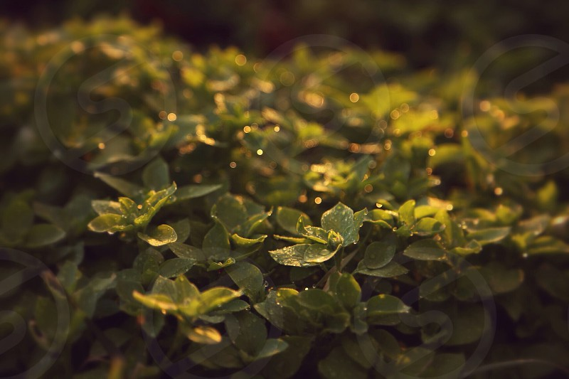 Chickweed with water drops touched by the light of the sunset.  photo