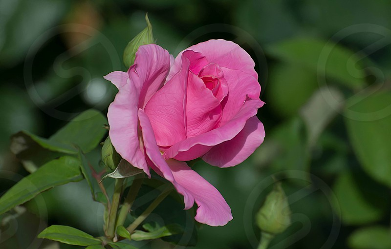 Pink Rose with green background. Photographed by Michael P. Moriarty  http://www.michaelmoriartyphotography.com photo