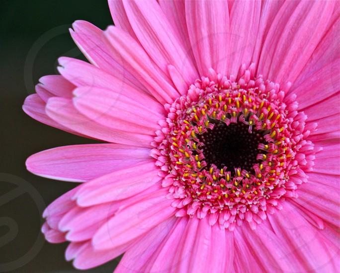 pink flower in full bloom photo