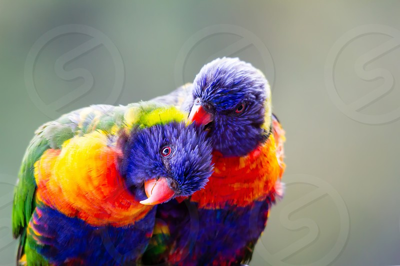 That look in your eye lorikeet love pair lovebirds rainbow colours photo
