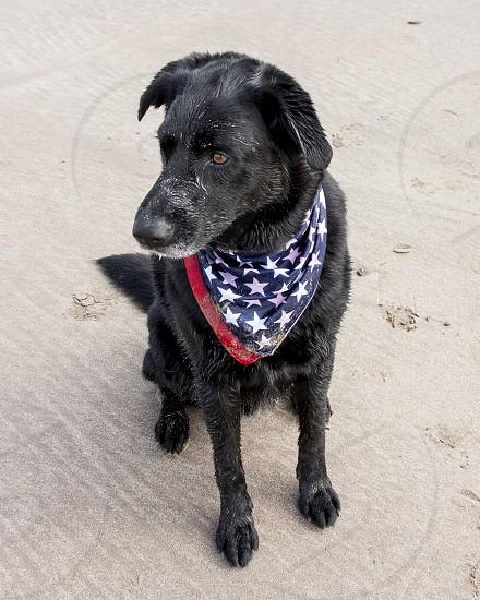 Black shepherd mix with American flag bandana on sand photo
