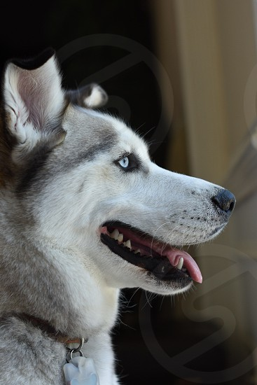 A beautiful blue eyed Husky dog looking out the window photo