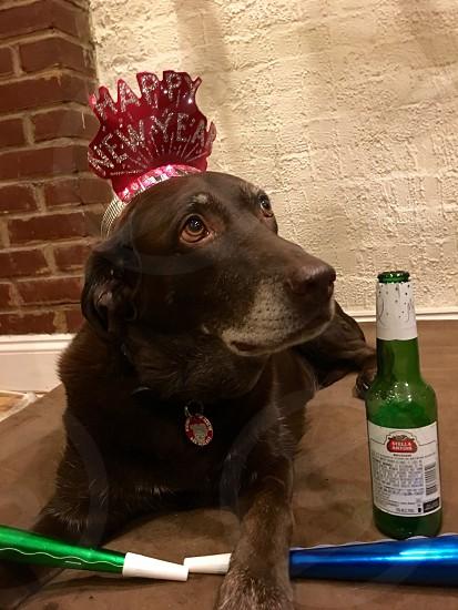 Happy New Year lab dog photo