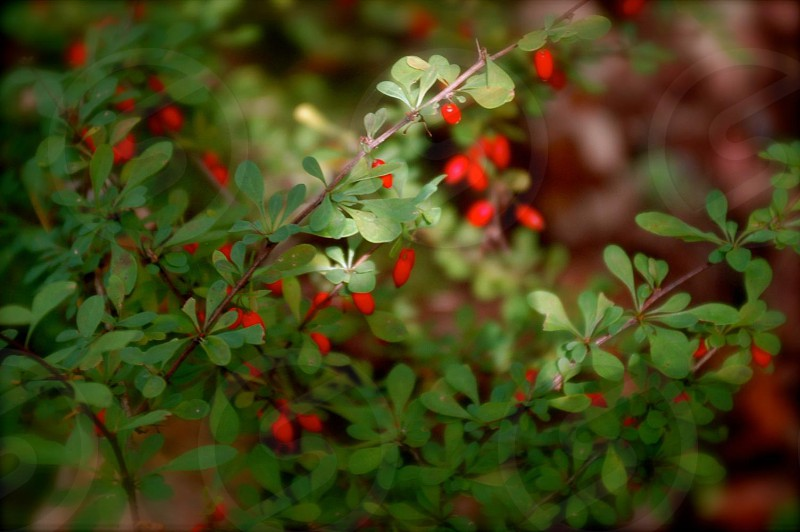 Red berries holiday red green photo