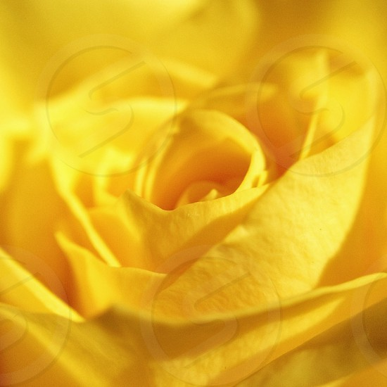 yellow rose photo