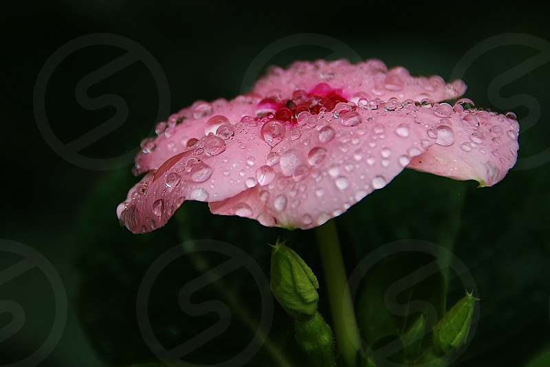 Pretty pink flower in the dew photo