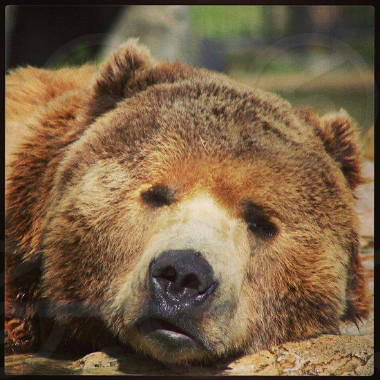 bear kodiak portrait  relaxing photo