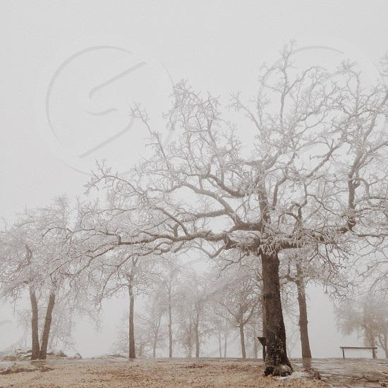 leafless tree with mist photography  photo