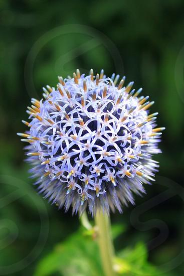 Globe Thistle Flower photo