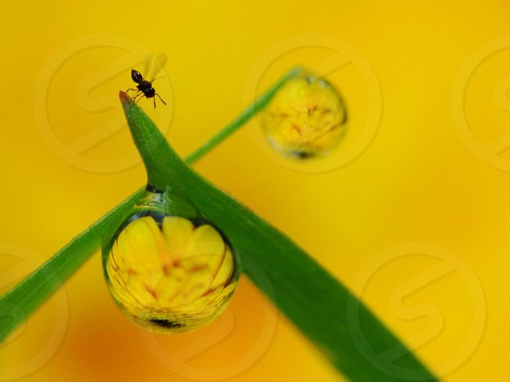 Yellow flower reflected inside dew drops photo