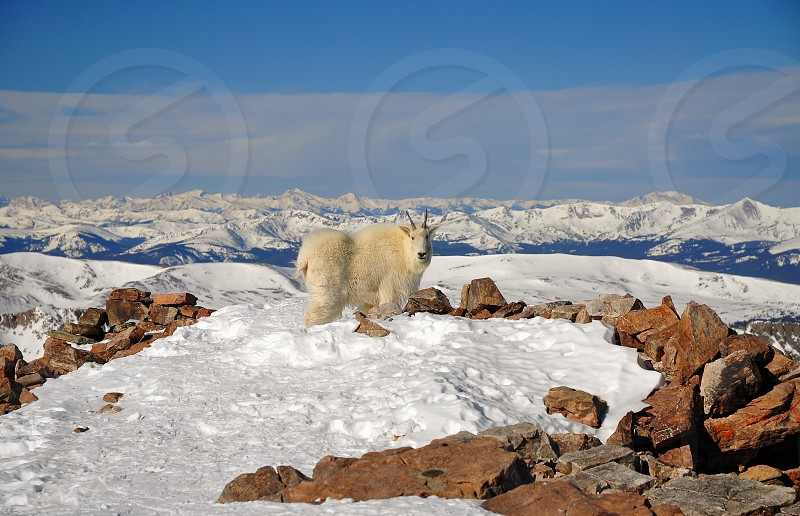 Mountain Goat on Quandary Peak Colorado photo