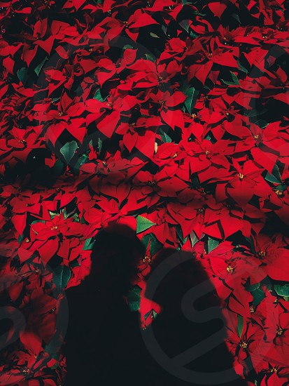 Flowers silhouette red winter people love photo