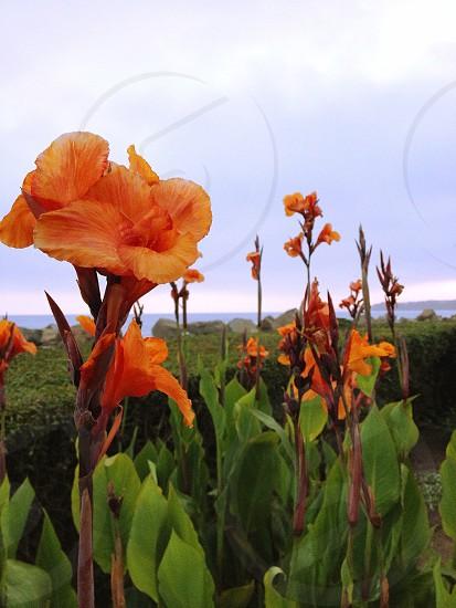 orange canna flower photo
