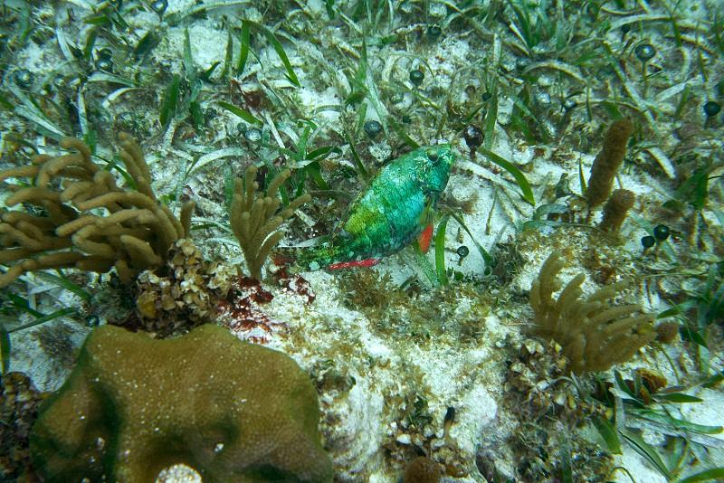 Parrotfish fish in Great Mayan Reef at Riviera Maya of Caribbean Mexico photo