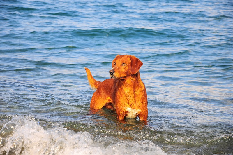 rusty short haired dog on sea water photo