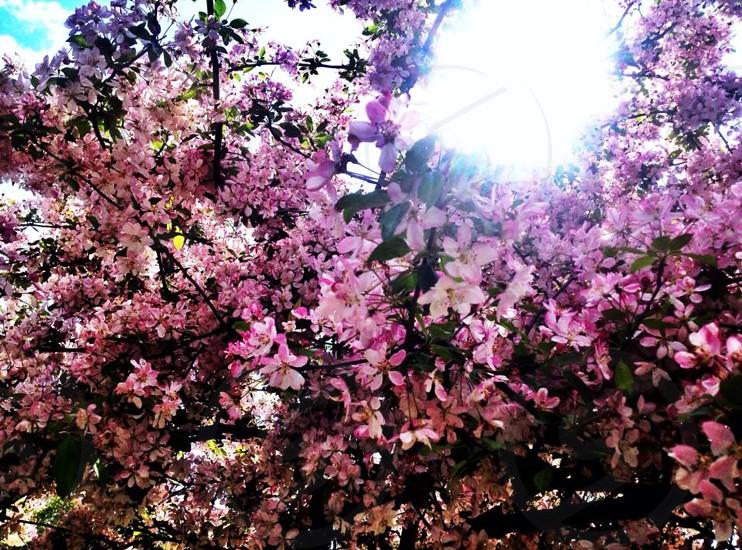 Blossom - tree - countryside - Peterborough - England - pink - sunlight photo