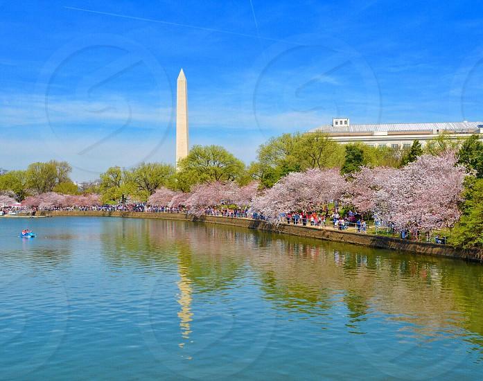 Washington DC; cherry blossoms photo