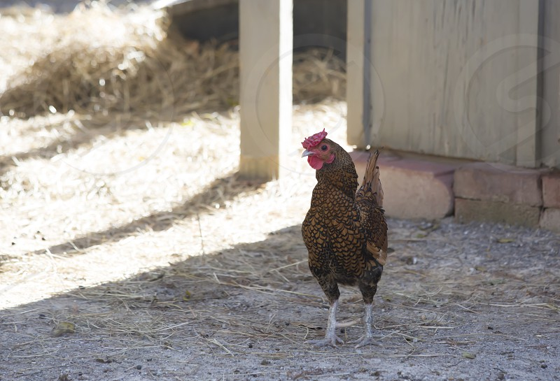 Free range rooster photo