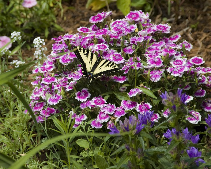 Swallowtail butterfly on flowers  photo