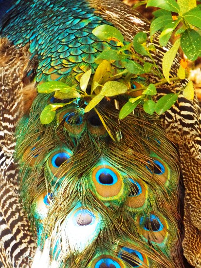 Vivid shot of the back feathers of a male peacock as he walks amongst a leafy tree branch. photo