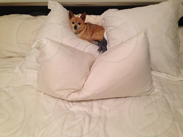 smooth chihuahua lying on bed surrounded with white pillows photo
