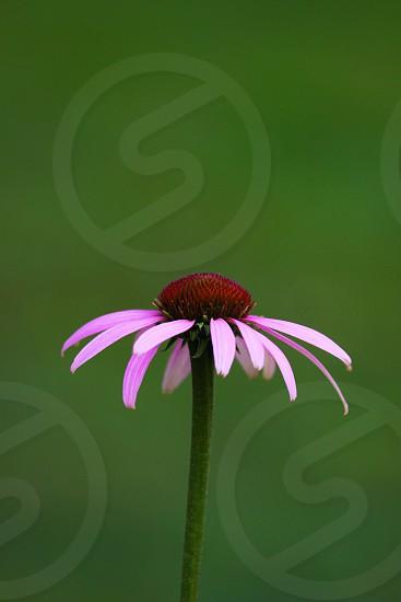 purple daisy photo