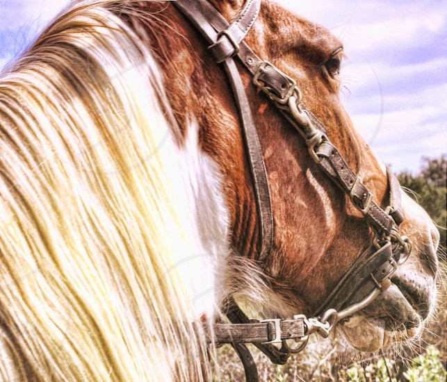 Close up of the head of a tan horse with a beige mane photo