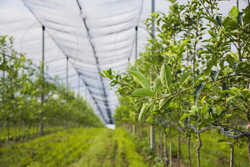 Apple orchard with safety nets photo