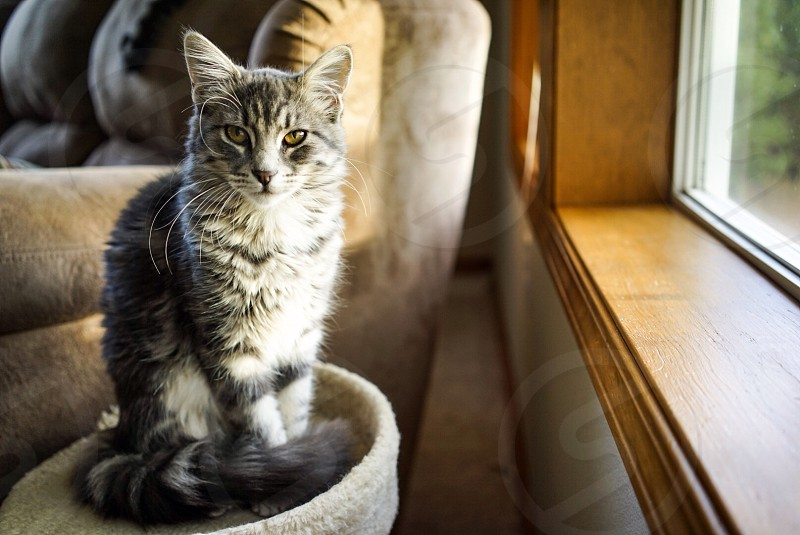 silver tabby can in house photo