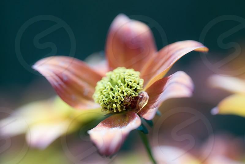 Bidens flower macro photography photo