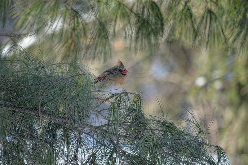 Female northern Cardinal in pine tree photo