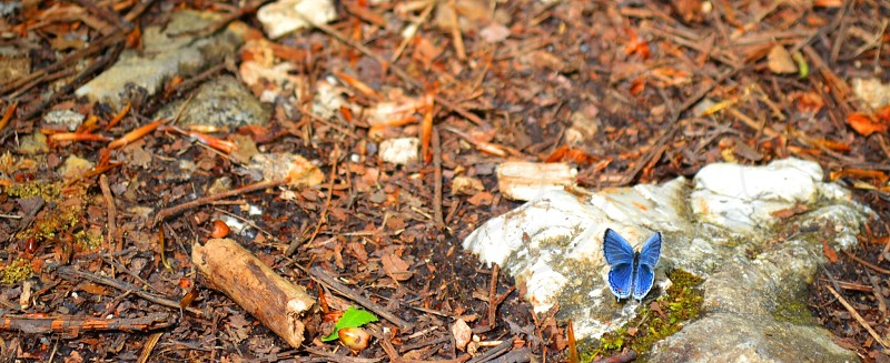 common blue butterfly perched on white and gray rock at daytime photo