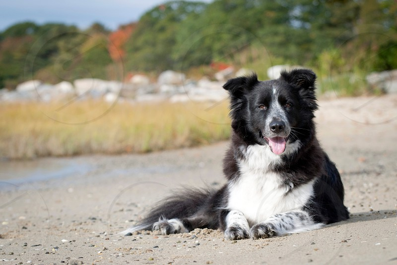 black white border collie photo