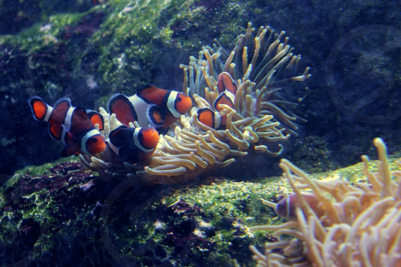 4 clown fish on brown coral photo