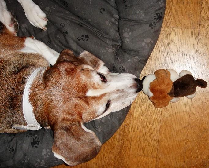 Beagles photo