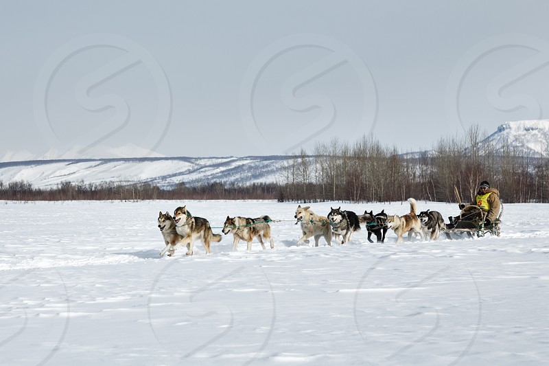 KAMCHATKA RUSSIA - MARCH 3 2014: Running dog team Kamchatka musher Ivan Nivani. Traditional Kamchatka Dog Sledge Racing Beringia. Russian Federation Far East Kamchatka Peninsula. photo