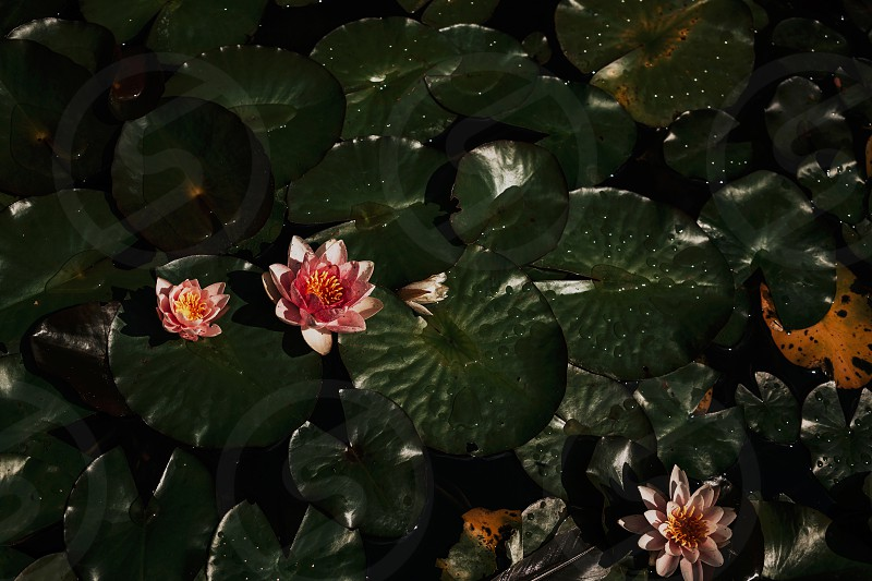 moody water lillies floating on a sunny afternoon photo